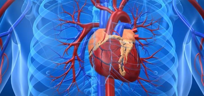 het hart: de keizer van ons organisme